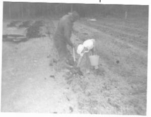 dad & bert plant potatoes